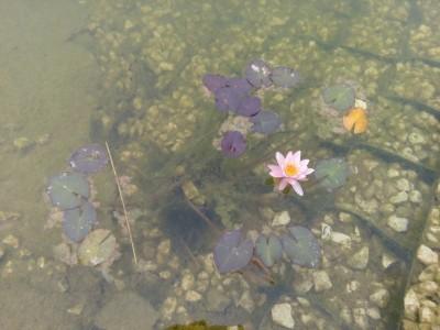 Водные растения- фотографии и описание - imageWBCBZI33.jpg