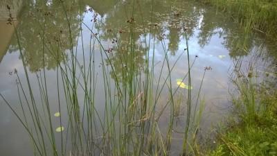 Водные растения- фотографии и описание - 093.jpg