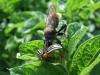 Это существо которое ест колорадских жуков, обнаружил на ботве картофеля. - IMGP1061.JPG
