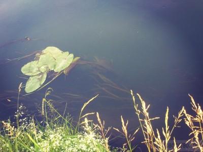 Питомник нимфей в пруду с рыбами - Kf6IeVcWaF4.jpg
