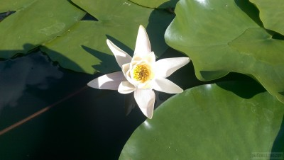 Диаметр цветка больше 20 см. - IMAG1536.jpg