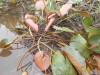 Питомник нимфей в пруду с рыбами - DSCN2429[1].JPG