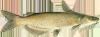 Мой пруд  - channel_catfish.png