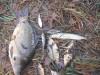 Идея - выращивать сеголетку щуки с сеголеткой карпа в измененных условиях - DSCN2652[1].JPG