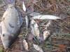 Идея - выращивать сеголетку щуки с сеголеткой карпа в измененных условиях - DSCN2653[1].JPG