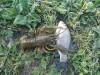 Мой пруд  - DSC_0063.JPG
