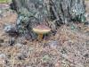 Польский,крепкий гриб.Брал в ноябре. - IMG_20201008_111252.jpg