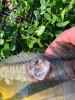 Дачный рыбовод. - IMG-20210510-WA0000.jpg
